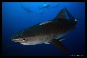 Tiger Shark...and she's a Beauty...a bit shy though by Allen Walker 